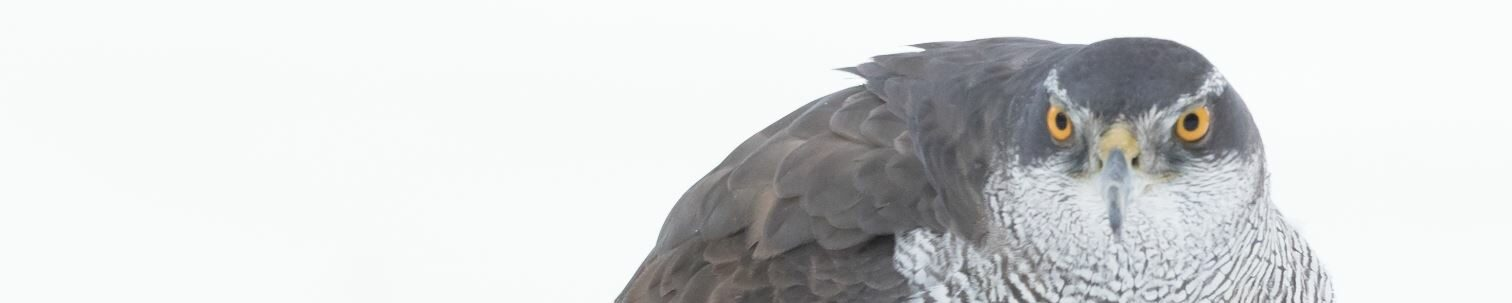 Vluggevogel